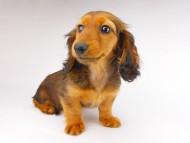 レイcs & ジャンの子犬 レッド 女の子
