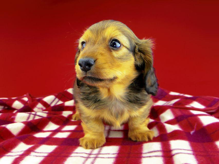 dachshund187