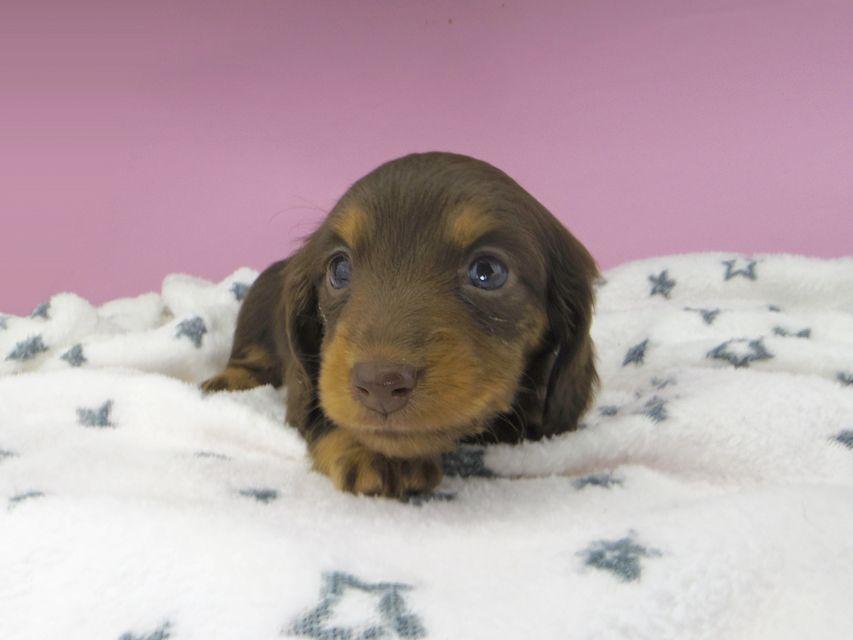カニンヘンダックスフンド ジルcs & ブルースの子犬 チョコタン 女の子