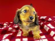 dachshund199