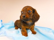 ジャジー & ジムの子犬 レッド 男の子(3)
