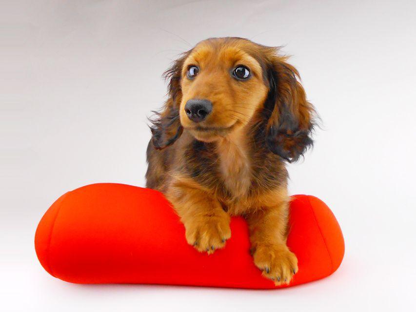 カニンヘンダックスフンド レイcs & ジャンの子犬 レッド 女の子