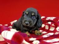 ひなプリ & ナイトの子犬 ブラックイエロー(ブラッククリーム) 男の子
