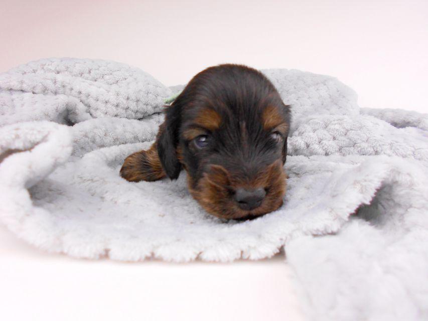 カニンヘンダックスフンド ひなプリhp & オスカルの子犬 イエロー(クリーム) 男の子(1) お写真初登場