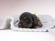 ひなプリhp & オスカルの子犬 ブラックイエロー(ブラッククリーム) 男の子(2) お写真初登場