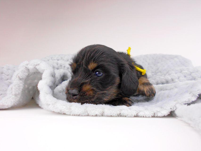 カニンヘンダックスフンド ひなプリhp & オスカルの子犬 ブラックイエロー(ブラッククリーム) 男の子(2) お写真初登場