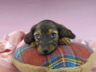 ジャジー & ジムの子犬 レッド 男の子(1)