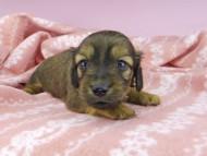 ププリン & ブルースの子犬 レッド 男の子