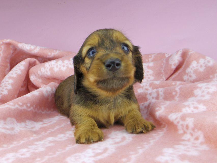 カニンヘンダックスフンド ププリン & ブルースの子犬 レッド 女の子