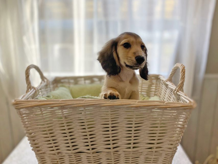 dachshund2597