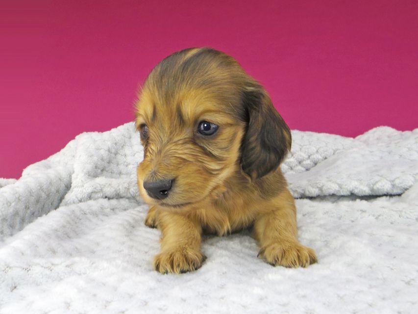 カニンヘンダックスフンド キュア & スカッシュの子犬 レッド 男の子