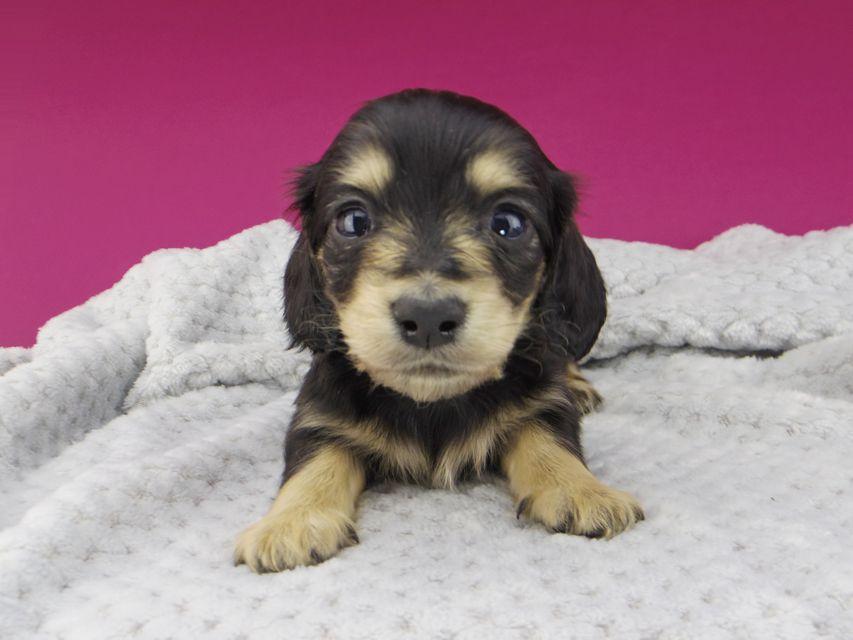 カニンヘンダックスフンド キュア & スカッシュの子犬 ブラックイエロー(ブラッククリーム) 女の子