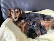 ココcs 2月6日 子犬の出産