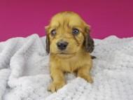 キュア & スカッシュの子犬 レッド 女の子(1)