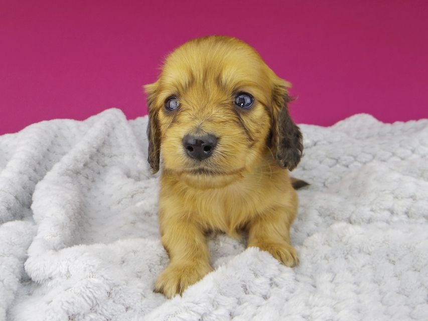 カニンヘンダックスフンド キュア & スカッシュの子犬 レッド 女の子(1)