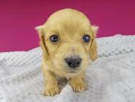 キュア & スカッシュの子犬 レッド 女の子(2)