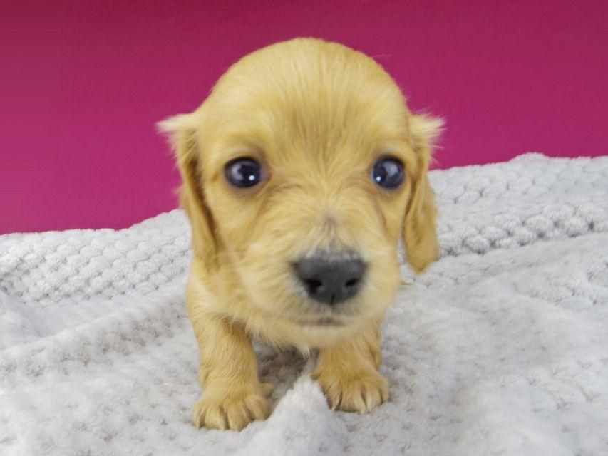 カニンヘンダックスフンド キュア & スカッシュの子犬 レッド 女の子(2)