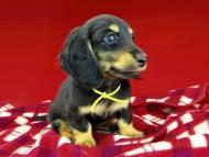 dachshund290