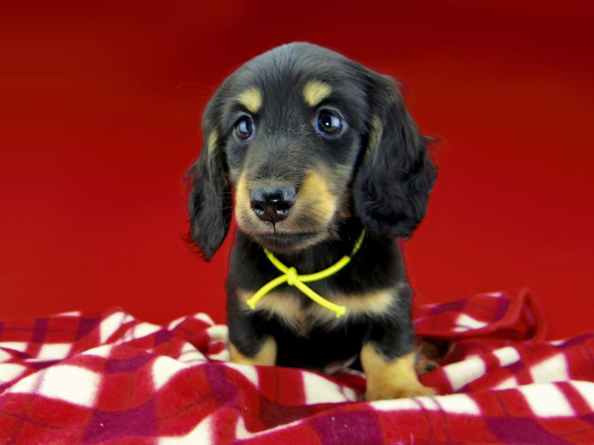 dachshund297