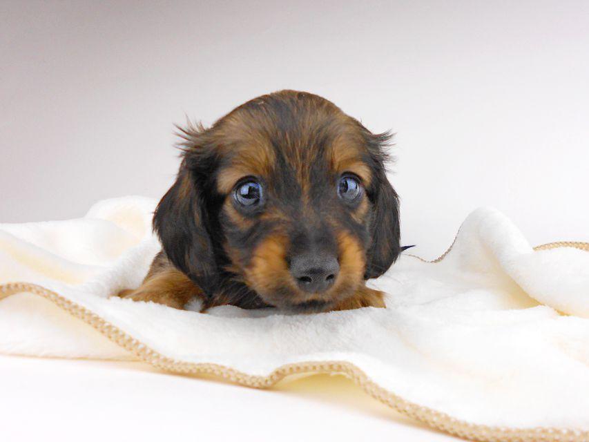カニンヘンダックスフンド チャーム & ブルースの子犬 イエロー(クリーム) 男の子(1)