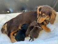 ジルcs 12月4日 子犬を出産しました