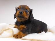 チャーム & ブルースの子犬 レッド 女の子