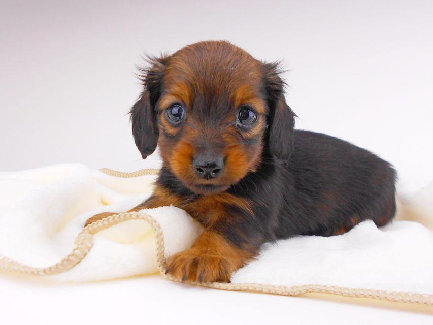 カニンヘンダックスフンド チャーム & ブルースの子犬 レッド 女の子