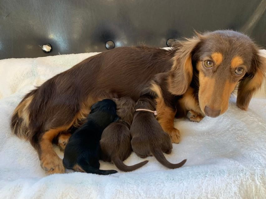カニンヘンダックスフンド ジルcs 12月4日 子犬を出産