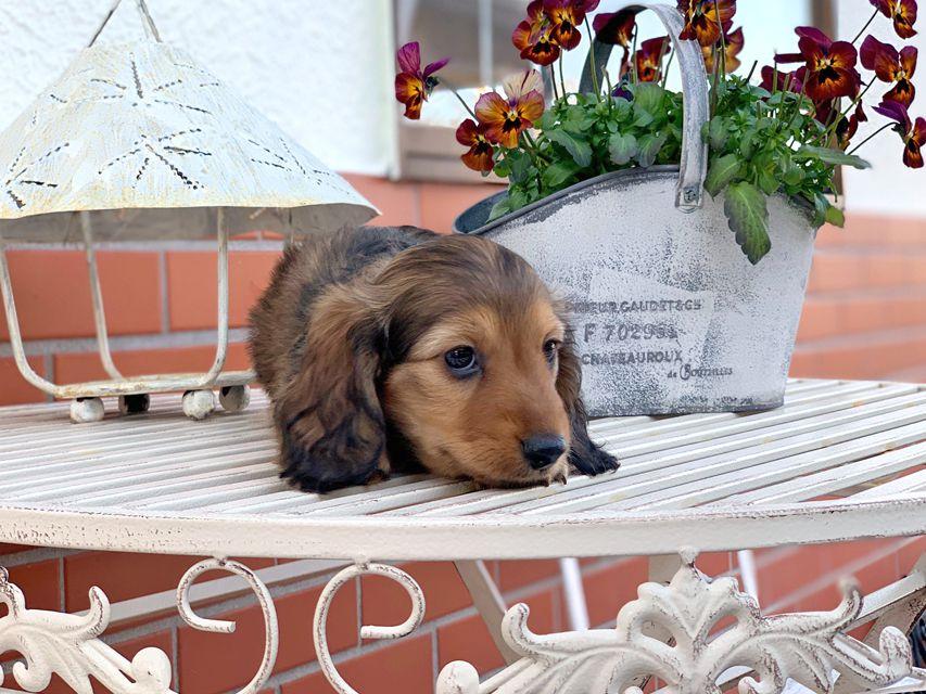 カニンヘンダックスフンド シオンcs & スカッシュの子犬 レッド 男の子