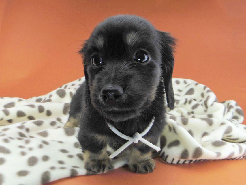 カニンヘンダックスフンド ひなプリ & ナイトの子犬 ブラックイエロー(ブラッククリーム) 男の子