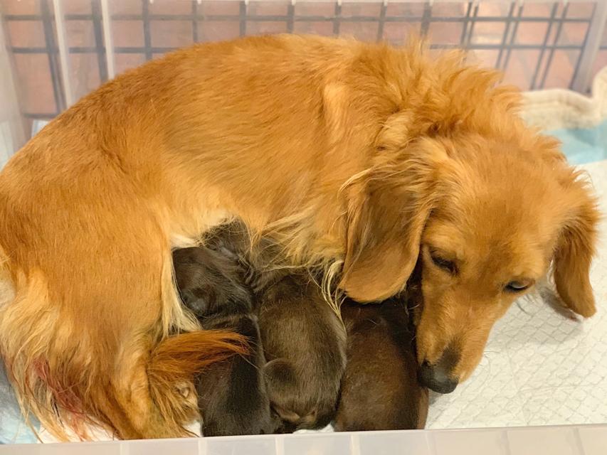 カニンヘンダックスフンド ププリン 12月21日 子犬を出産しました