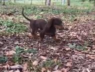 ベベ & ジャックの子犬 チョコタン 男の子(1)動画
