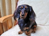 クロエ 9月16日 子犬の出産