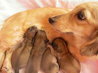 カニンヘンのマンドレが1月3日ダックスフンド子犬を出産しました