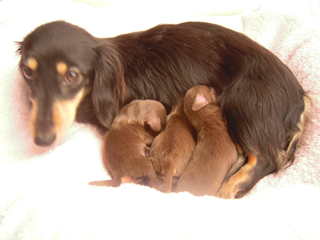 カニンヘンのイブが1月7日ダックスフンド子犬を出産しました。