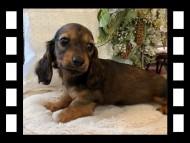 ジャジー & まもるCHの子犬 レッド 女の子(1)