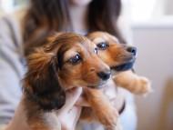 ププリン & ブルースの子犬 レッド 女の子