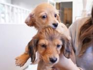 キュア & スカッシュの子犬 レッド 男の子、レッド 女の子(2)