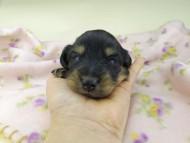 レイcs & スカッシュの子犬 ブラックイエロー(ブラッククリーム) 男の子