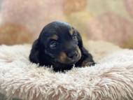 KT & ブルースの子犬 ブラックイエロー(ブラッククリーム) 男の子