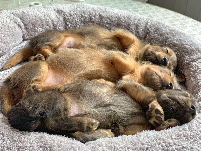 ミニチュアダックスフンド ロングヘアード ララ & 竹千代の子犬 レッド(1)レッド(3)イエロー(3)