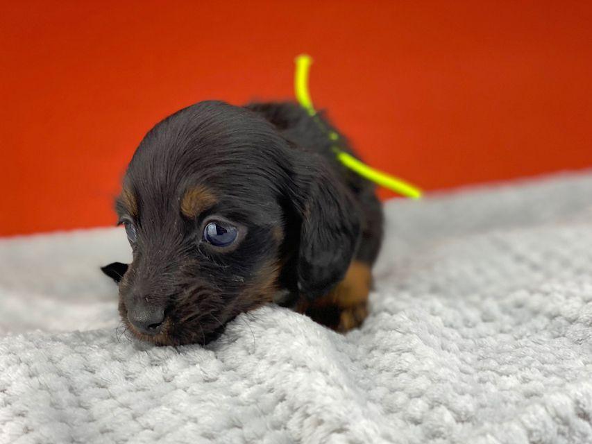 ミニチュアダックスフンド ルチアhp & ブルースの子犬 ブラタン 男の子