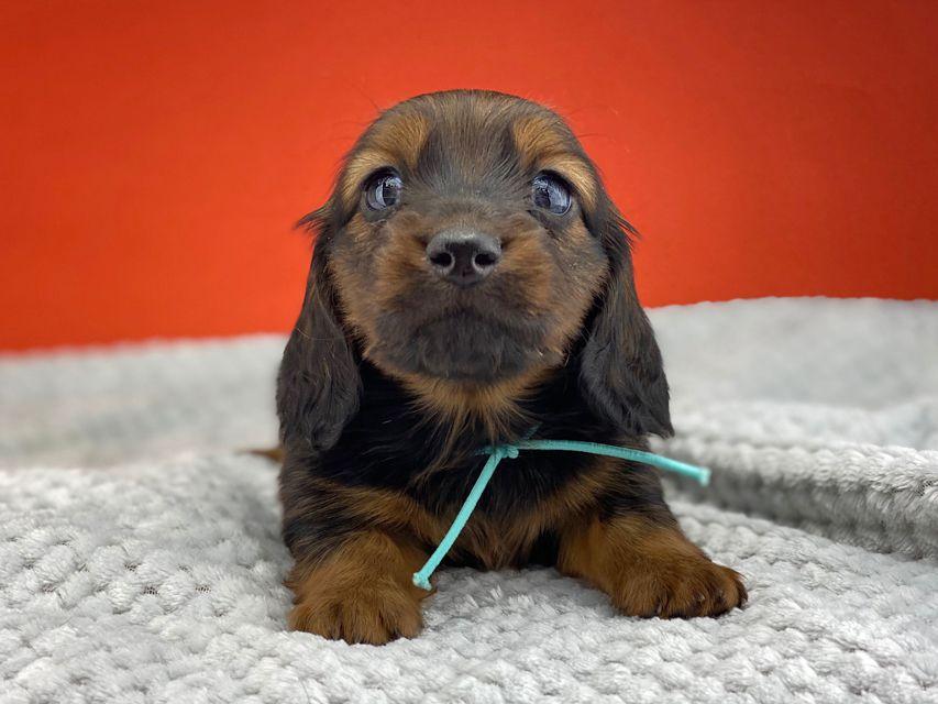 ミニチュアダックスフンド ルチアhp & ブルースの子犬 レッド 男の子