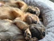 ララ & 竹千代の子犬 レッド(1)レッド(3)イエロー(3)