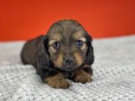 ルチアhp & ブルースの子犬 イエロー(クリーム) 女の子